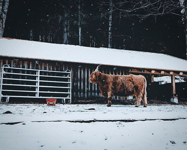 Curious Animal Cow EyeEmNewHere Snow Cold Temperature Winter Snowing Mammal Animal Themes No People Domestic Animals Outdoors Nature Day
