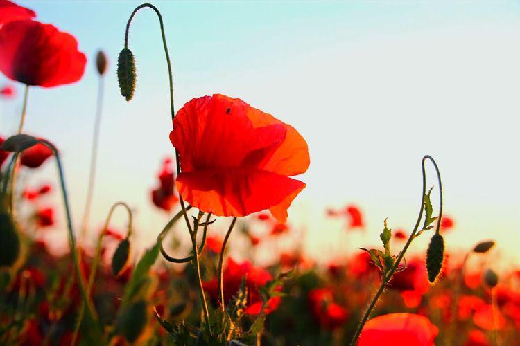 Poppins Flower