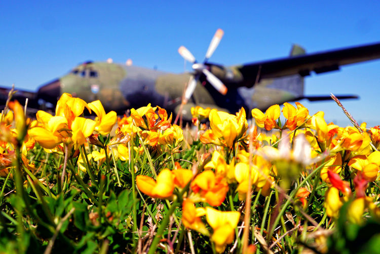 Blooming Blue Field Flower Focus On Foreground Freshness Gatow Military Base Militärhistorischer Flughafen Gatow No People Outdoor Plane Yellow Yellow Flower
