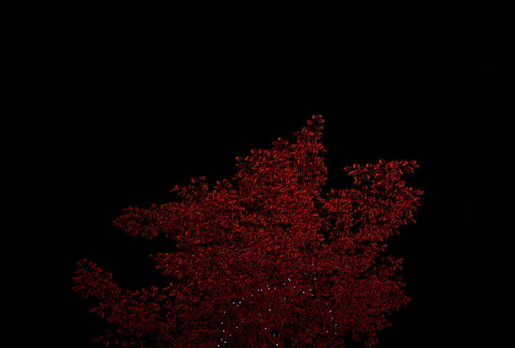 Autumn Christmas Dark LED Light Minimalist Plant Plants Thanksgiving Black Background Decoration Decorations Growth Leaf Leaves Minimalism Nature Night No People Red Season  Sky Tree HUAWEI Photo Award: After Dark