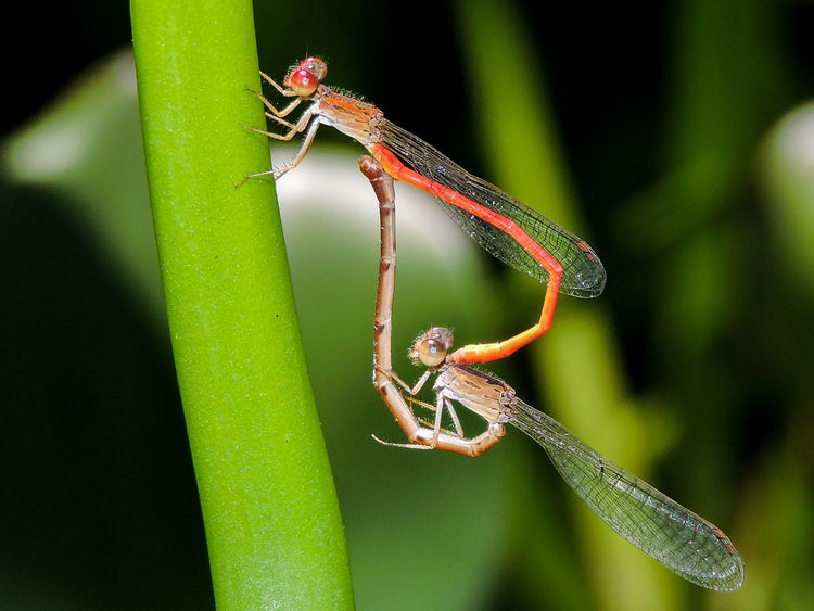 Animal Themes Animal Wildlife Animals In The Wild Beauty In Nature Close-up Damselflies Firetail Green Color Insect Magazhu Mating Mating Pair Of Insects Nature No People Plant Showcase December Yelapa