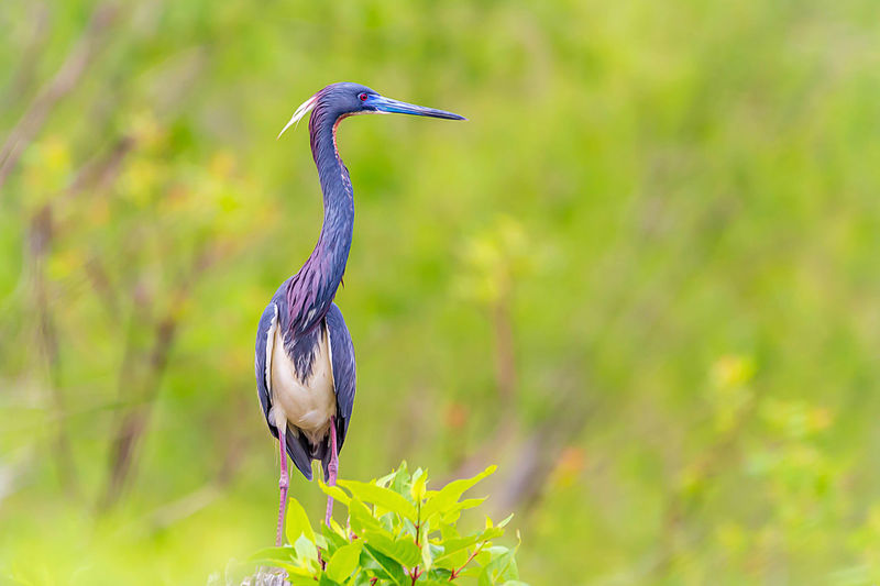 Bird Animal Themes Animals In The Wild One Animal Vertebrate Animal Wildlife Animal Focus On Foreground Plant No People Nature Perching Day Outdoors Selective Focus Heron Green Color Beauty In Nature Standing Plant Part Profile View