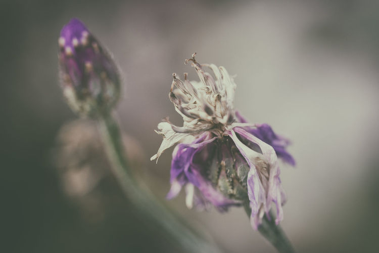 Beauty In Nature Botany Close-up Decay Dying Flower Film Simulation Flower Flower Head Focus On Foreground Fragility Petal Purple Softness Maximum Closeness