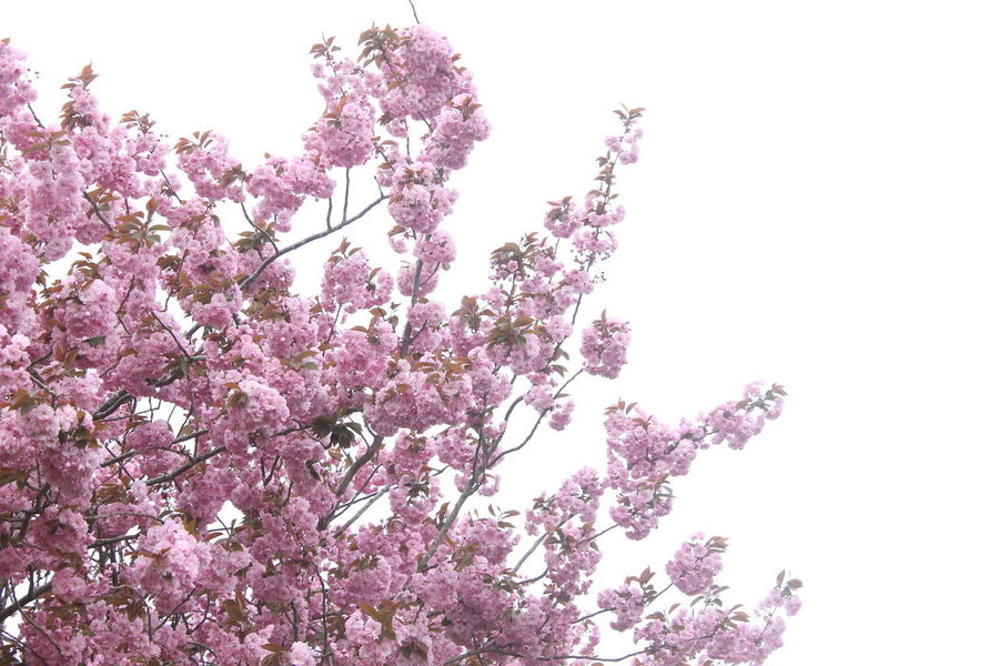 Pink blossom really does burn brightest amongst trees. Single Flower Background Beauty In Nature Blossom Cherry Blossom Flower Flowering Plant Freshness Growth Nature Outdoors Pink Color Pink Flower Plant Single Tree Sky Tree Wallpaper