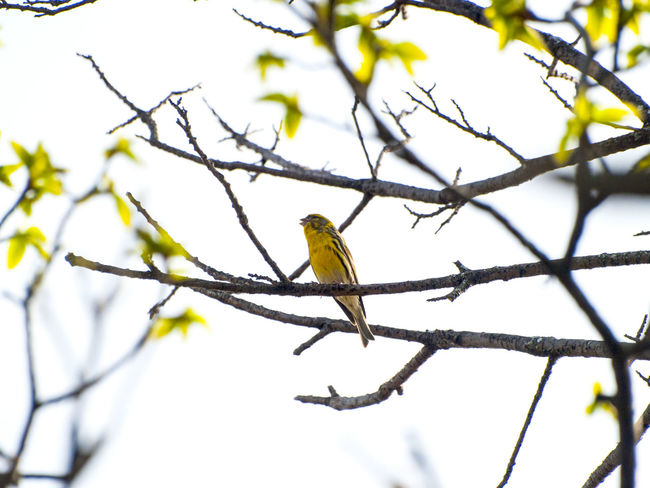 Animal Themes Animal Wildlife Animals In The Wild Bare Tree Beauty In Nature Bird Branch Chirp Close-up Day Carduelis Carduelis Spinus Lugano Low Angle View Nature No People One Animal Outdoors Perching Perching Bird Siskin Songbird  Tree Trill Wildlife