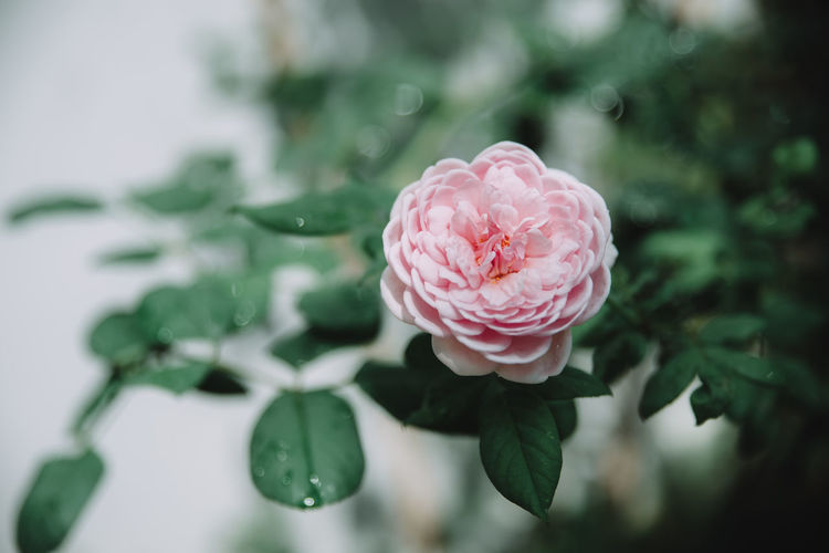 sunday rose with you Plant Flower Freshness Flowering Plant Beauty In Nature Close-up Petal Pink Color Vulnerability  Inflorescence Flower Head Growth Fragility Leaf Plant Part Rosé Rose - Flower Focus On Foreground No People Nature Outdoors