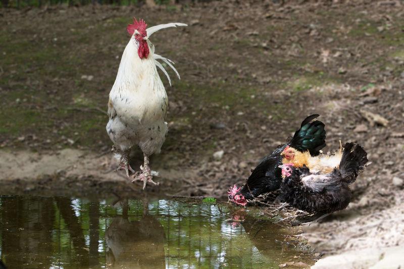 Drinking hens