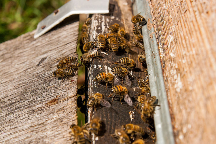 Animal Animal Themes Animal Wildlife Animals In The Wild APIculture Bee Beehive Close-up Day Group Of Animals Honey Bee Insect Invertebrate Large Group Of Animals Metal Nature No People Outdoors Selective Focus Textured  Wood - Material