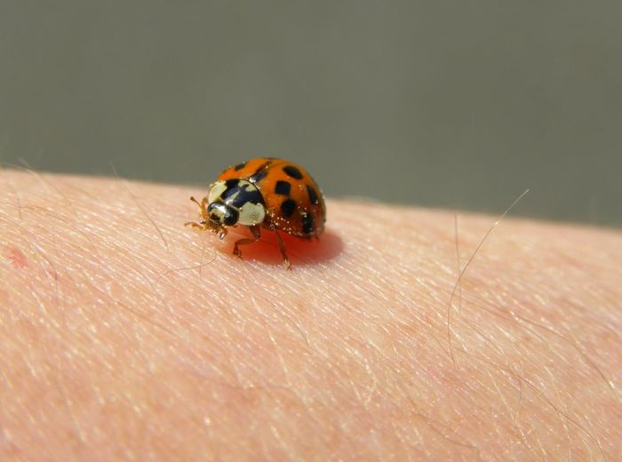 Red Bugs Macro Photography Beauty In Nature, Human Hand Ladybug Insect