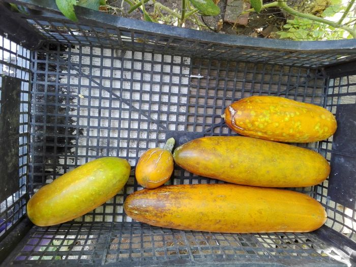 Yellow Cucumbers Yellow Cucumber Cucumber For Seeds Cucumbers For Seeds No People Vegetables Slowfood Outdoors Healthy Eating Food Fruit Freshness Yellow No Person WOLFZUACHiV Photography Huawei Photography Ionita Veronica Veronica Ionita Wolfzuachiv WOLFZUACHiV Photos Eyeem Market Huaweiphotography Beauty In Nature Nature