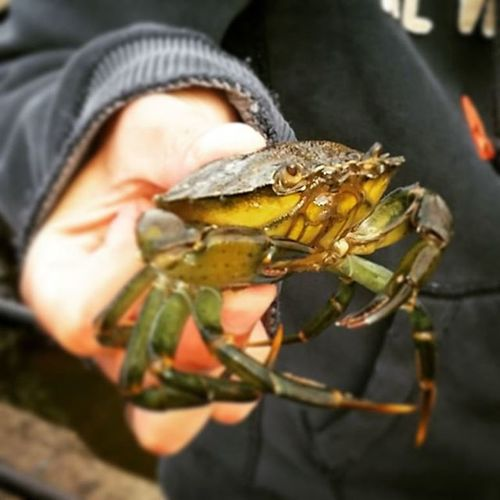 Crabbing in Whitby Crab Crabbing Whitby Pincers Nippy