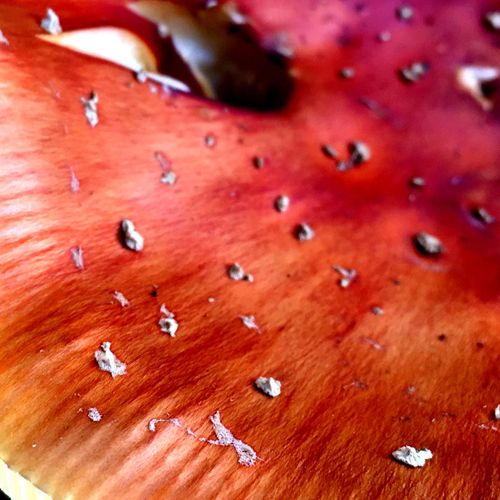 Dangerous Beauty Nature Textures Plants Plants Collection Plants 🌱 Nature Is Art Buttermere Lake District Fly Agaric Fungi Walking EyeEm Nature Lover Macro Macro_collection Macro Photography Macro Nature Macro_collection Nature_collection EyeEm Best Shots EyeEm Nature Lover Macrophotography