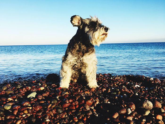 My queen 👑 My Best Photo Pets Snauzer Sea Water Sky Horizon Horizon Over Water Nature Land Scenics - Nature Dog Outdoors Beach Beauty In Nature Mammal Canine Sunlight