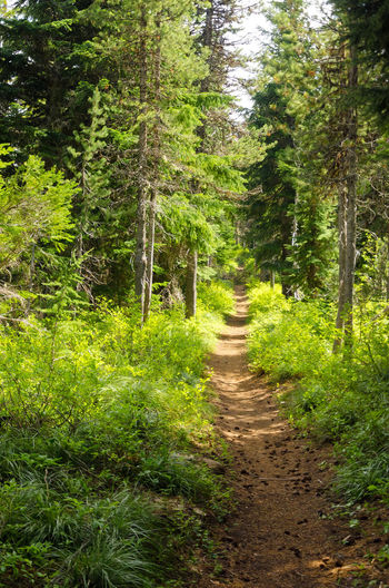 Trail passing through a lush green forest in Oregon Background Branch Branches Brown Conifer  Coniferous Detail Evergreen Fir Forest Fresh Green Leaf Natural Nature Nature Needle Needles Oregon Pine Plant Season  Spruce Tree Wood