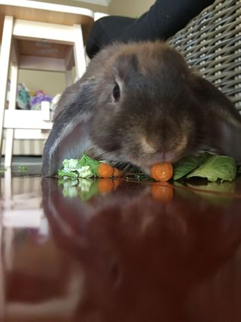 Animal Themes Bright Eyes Brown Bunny  Close-up Cute Day Domestic Animals Eating Carrot Floppy Flower Front View Of Fac Indoors  Mini Lop No People One Animal Pets Rain