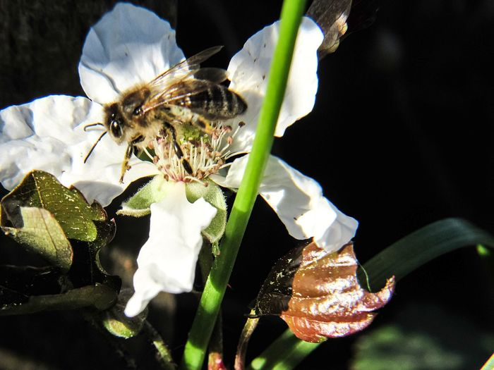 busy bee Black Berry Blossom Black Berry Flower Wild Flowers Springtime Wild Berries Growth Wildlife & Nature White Flower Nectar Bee Collecting Pollen Action Motion Insect Wings Flower Head Black Background Flower Insect Petal Close-up Plant Bee Pollen Buzzing Honey Bee Pollination Stamen APIculture Symbiotic Relationship