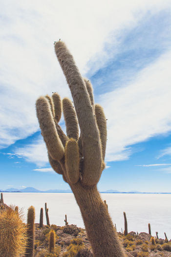 Isla Incahuasi - The Bolivian Salt Flats Arid Climate Beauty In Nature Bolivia Uyuni Cacti Cactus Cactus Flower Cactus Garden Cloud - Sky Day Geology Nature Non-urban Scene Outdoors Person Physical Geography Plant Remote Salt Flats Scenics Sea Sky Tranquil Scene Tranquility Water