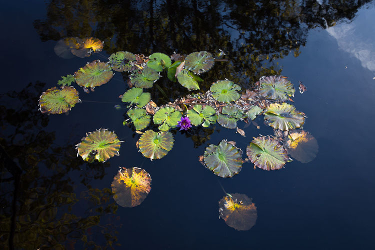 High angle view of fresh purple water lily amidst leaves in lake