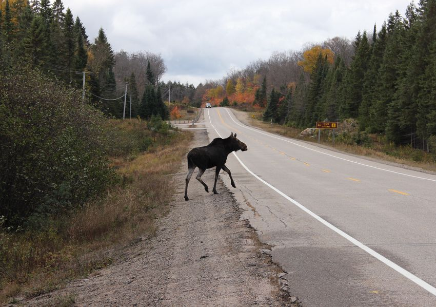 Moose of Canada Travel Ontario Canada Moose Road Tree One Animal Nature Animal Themes Sky Mammal No People Domestic Animals Beauty In Nature Outdoors Day EyeEmNewHere