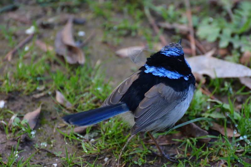 Blue Wren Animal Wildlife Animal Themes Animal Animals In The Wild One Animal Land Nature Black Color Outdoors Bird Blue Grass Field No People Day Focus On Foreground Plant