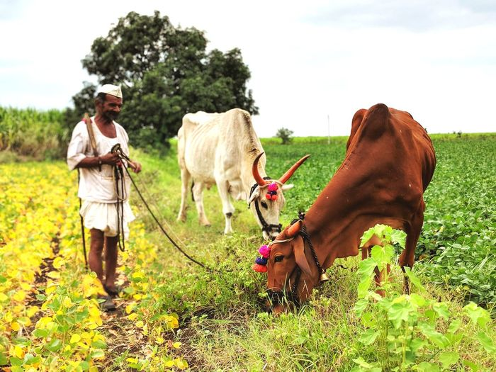 A farmer is feeding the grass to the bulls. EyeEm Selects EyeEmNewHere Rural Scene Agriculture Agriculture Photography Bulls Working Animal Animal Domestic Animals Cultivated Land Farmer Rural India EyeEm Selects Working Farmer Rural Scene Tree Agriculture Men Full Length Field Grass Sky Agricultural Field Plowed Field