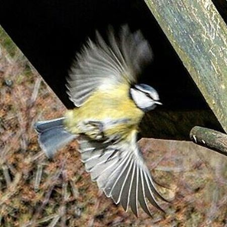 Bluetit in Flight www.facebook.com/melaniecycles Gardenbirds Wildbirds Garden Naturephotography Nature Birds Wing Nikon Nikon_photography Nikons9900 Animals Lincoln Lincolnshire Whisby Urbanwildlife Ukwildlifeimages