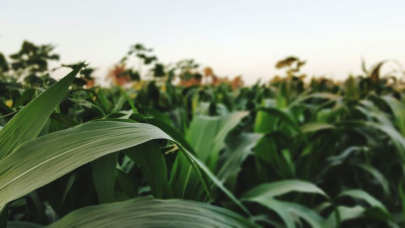 Corn plants.. Agriculture Growth Plant Field Nature Green Color Leaf Close-up FoodTranquil Scene Tranquility Corns Fragility Landscape Rural Scene Freshness No People Day Outdoors Healthy Eating Sky The Week On EyeEm Breathing Space
