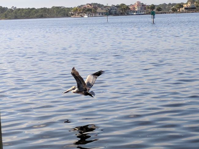 pelican in flight Bird Spread Wings Animal Wildlife Water Animals In The Wild