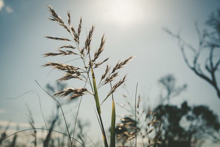 Close-up of stalks against sky during sunset