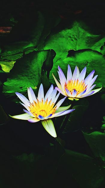 Lily Pads Plants 🌱 Flowers,Plants & Garden Gardens Plant Photography Gardening Plant Ponds Pond Life Plants And Flowers Planting Pond Lily Pad Lily Pond Lilypads Lily Pad Park Flowers Landscaping Fun Pondlife Pond Plants