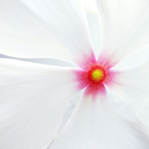 Close-up of white hibiscus blooming outdoors