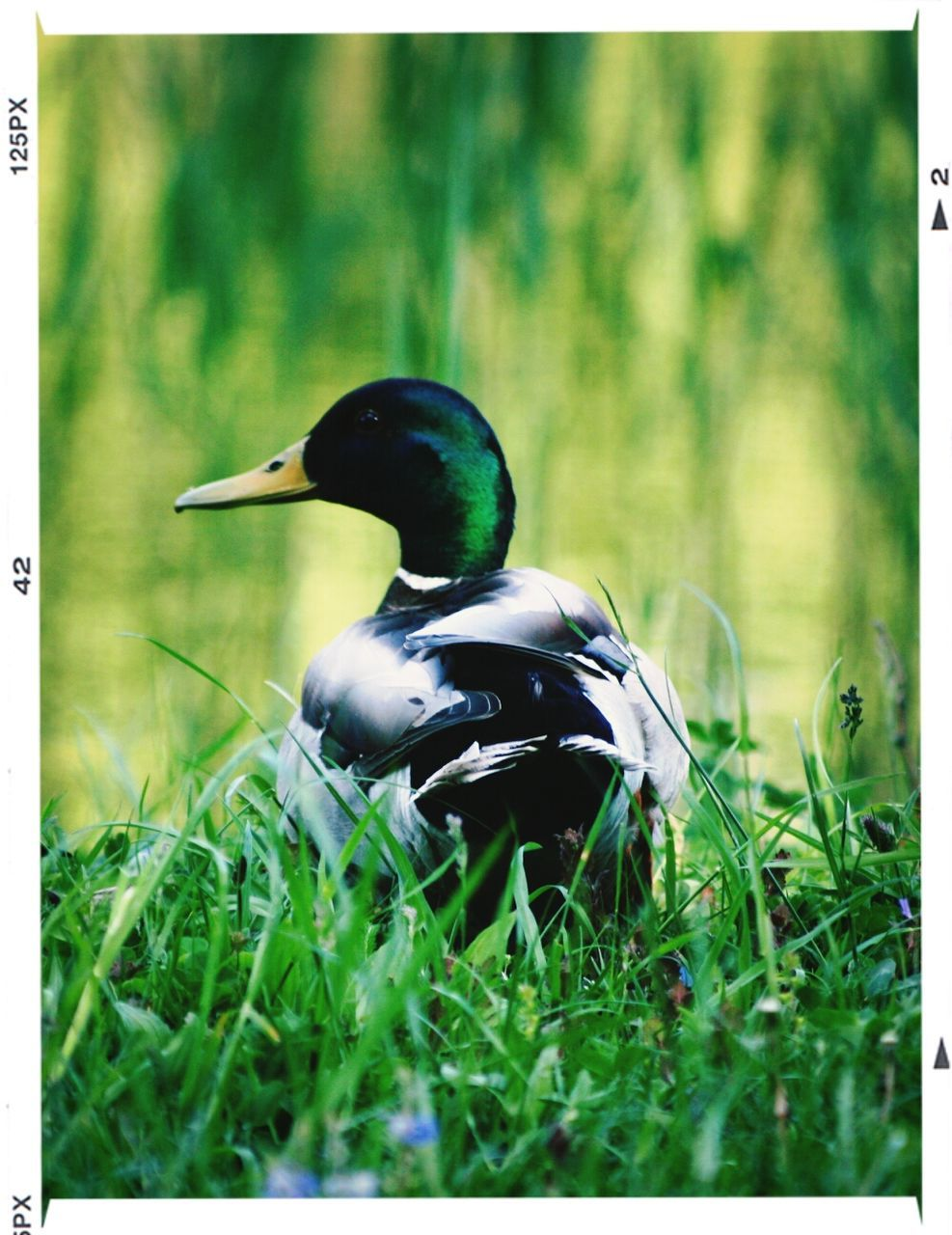 animal themes, animals in the wild, one animal, bird, grass, duck, nature, outdoors, day, beak, focus on foreground, no people, animal wildlife, close-up, beauty in nature