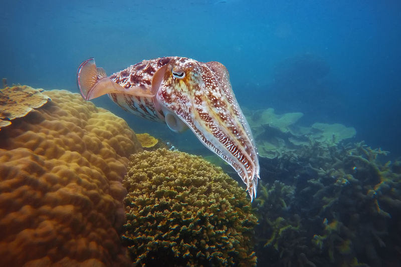 View of cuttlefish swimming in sea