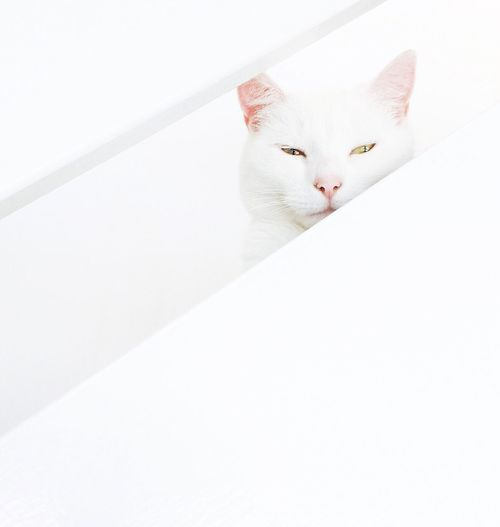 White cat on stairs Domestic Cat Mammal Feline Pets No People Day White Cat White Minimal Minimalism Cat Pet Pink Nose Pink Ears Stairs Cat On Stairs Hidden Hiding Peek Peeking Pet Portraits The Week On EyeEm