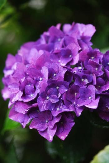 Close-up of purple hydrangea