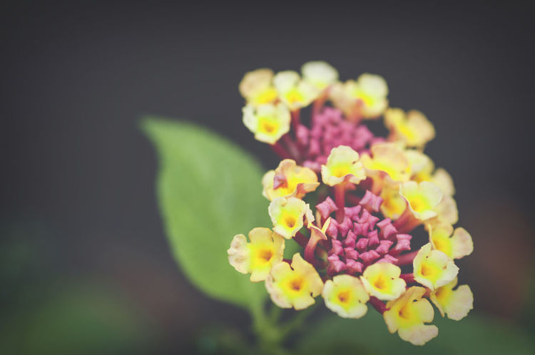 lantana inflorescence Lantana Beauty In Nature Botanical Garden Botanical Species Bunch Of Flowers Close-up Day Flower Flower Arrangement Flower Head Flowering Plant Focus On Foreground Fragility Freshness Growth Inflorescence Lantana Nature No People Outdoors Petal Pink Color Plant Selective Focus Vulnerability