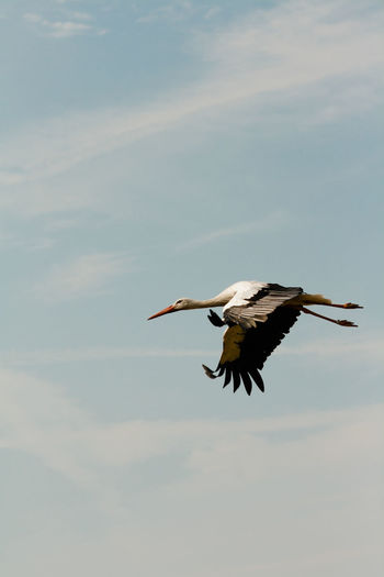 Low Angle View Of Stork Flying In Sky