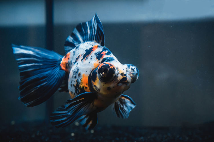 Meet Roger, my handsome Butterfly Telescope. Black & White Fishtank Goldfish In Water Animal Themes Animal Wildlife Animals In Captivity Aquarium Backgrounds Butterfly Telescope Close-up Colorful Fins Fish Fish Tank Focus On Foreground Goldfish Macro One Animal Portrait Sony A6000 Swimming Telescope Underwater Wallpaper Water