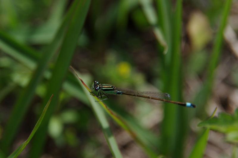 Close-up of dragonfly on blade of grass