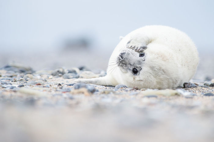 Cute baby seal Animal Animal Themes Baby Seal Beach Close-up Cute Animals Day No People One Animal Outdoors Seal White Seal