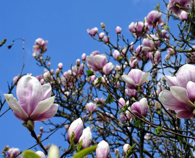 Beauty In Nature Blooming Blossom Close-up Day Flower Flower Head Fragility Freshness Growth Magnolia Nature No People Outdoors Pink Color Plant Sky Springtime Sunlight Tree