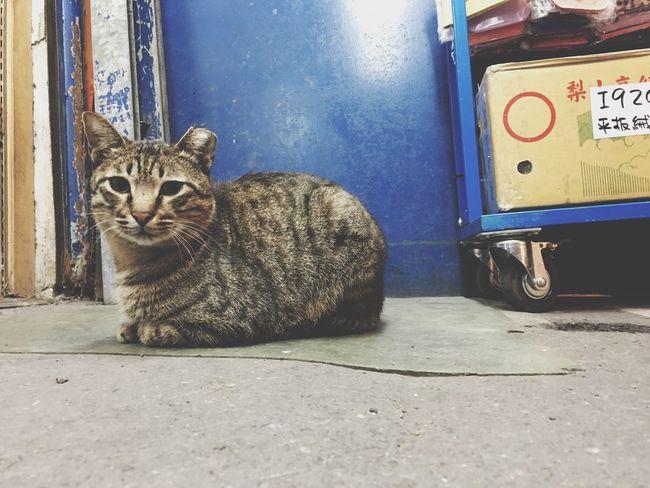 Cat Cute Cute Pets 認養代替購買