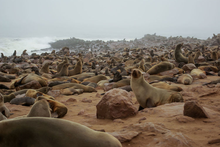 Seals at Cape Cross Namibia Sealife Animal Animal Themes Animal Wildlife Animals In The Wild Beach Cape Cross Day Fog Group Of Animals Herd Land Large Group Of Animals Mammal Nature No People Outdoors Rock Seal Seal - Animal Seals Solid Vertebrate