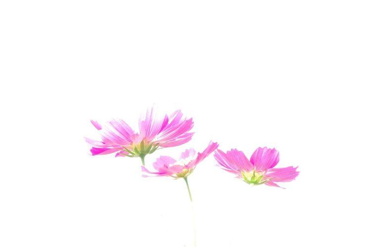 Flower コスモス畑 Pentax K-3