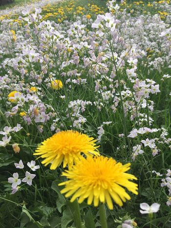 Die Blumenbilder, blühende Wiese, Flower Flowering Plant Plant Vulnerability  Yellow Fragility Freshness Beauty In Nature Flower Head Growth Nature Close-up No People Outdoors Park