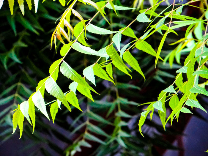 ONLY LEAVES 🌿🌿🌿🌿🌿 Neem Leaves. Flora Lush - Description Scenics - Nature Lush Foliage Green Leaf High Angle View Close-up Plant Green Color Greenery Countryside Stem Stalk Young Plant