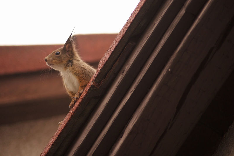 Squirrel on the roof :) Animal Animal Lover Animal Themes Awareness Chipmunk Day EyeEm Animal Lover Mammal No People One Animal Squirrel Watchful Watching Miles Away Miles Away Pet Portraits