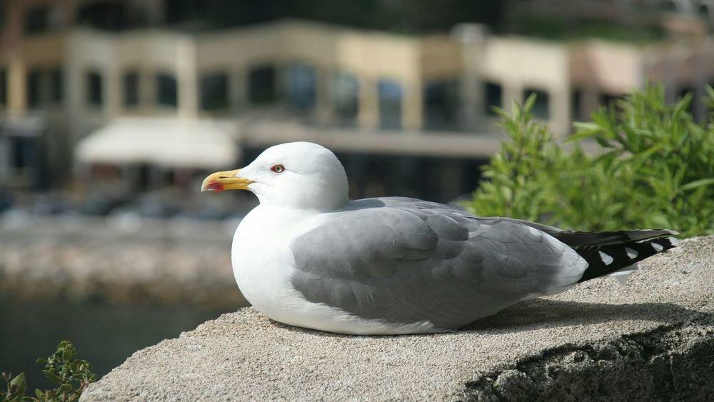 Gull Chess Engine