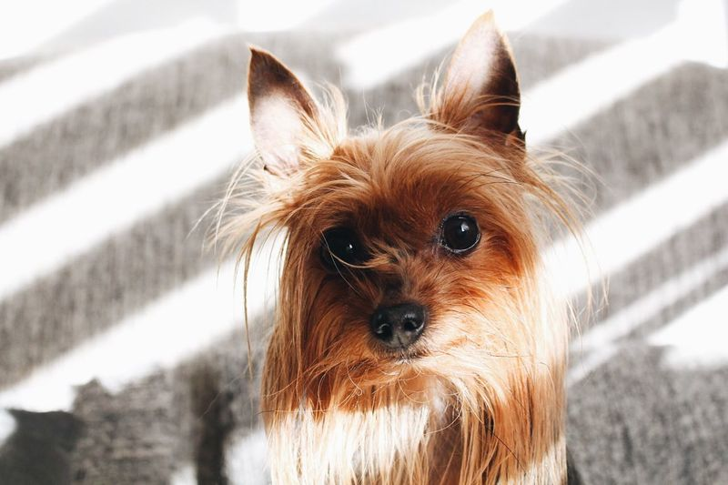 Animal Mammal One Animal Animal Themes Domestic Pets Domestic Animals Dog Canine Portrait Close-up Looking At Camera
