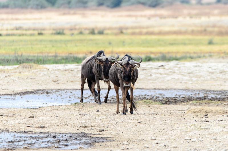 Wildebeest on landscape